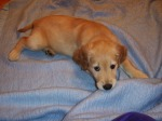 Resting Pup on Blanket – Joy's Pics ofPuppy